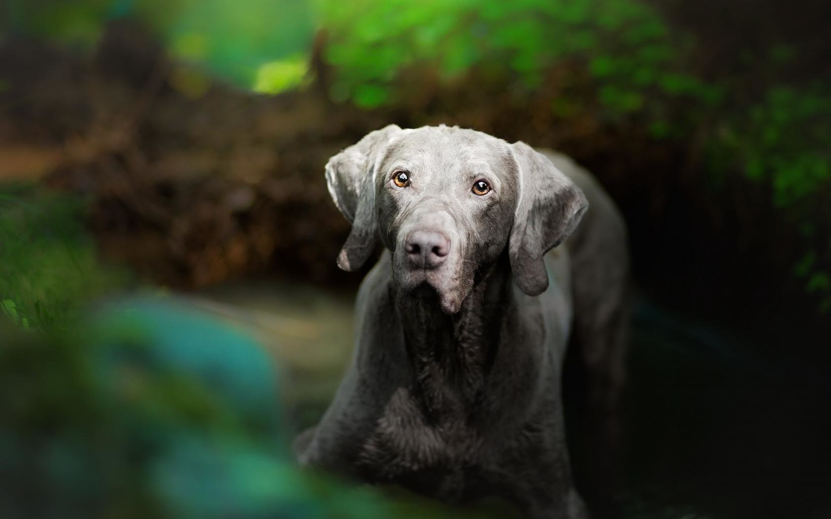 Awesome Weimaraner free background ID:9644 for hd 1680x1050 PC