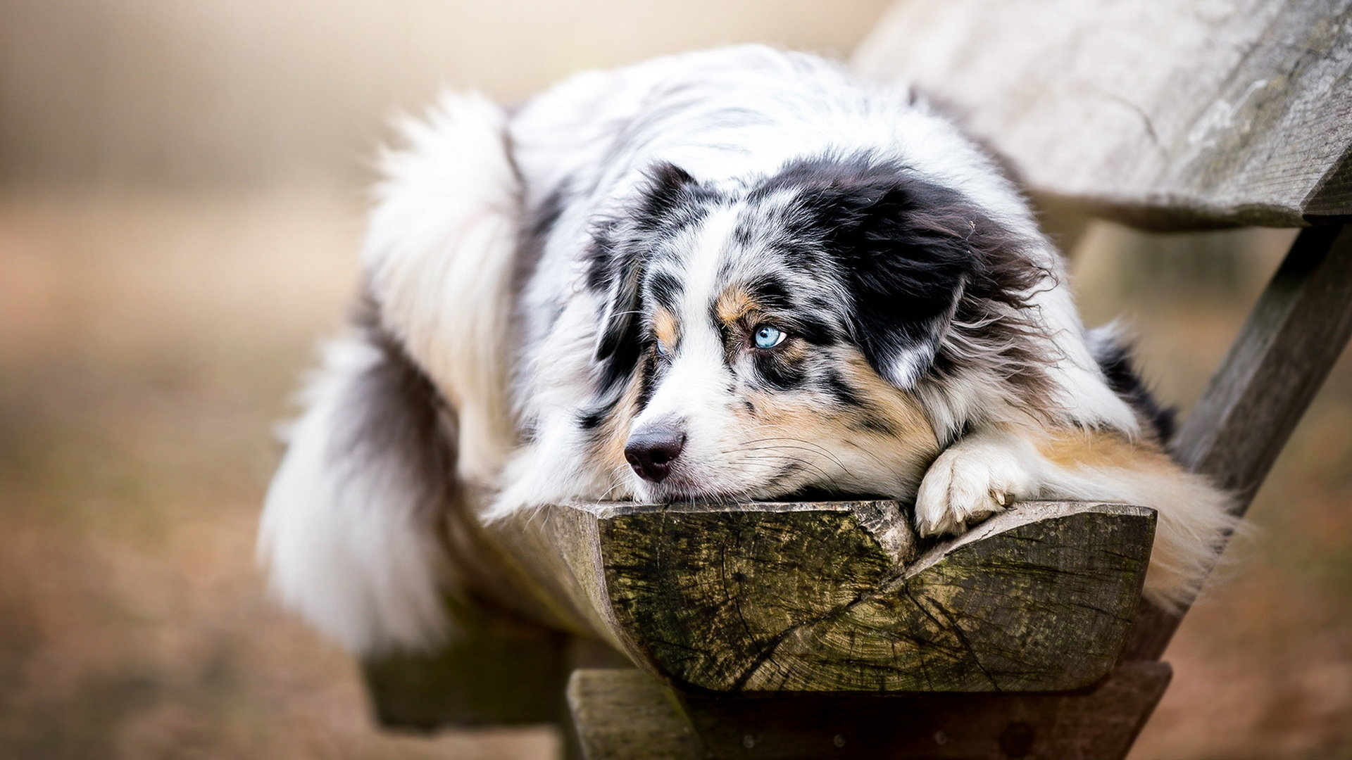 Awesome Australian Shepherd free wallpaper ID:118718 for hd 1920x1080 desktop