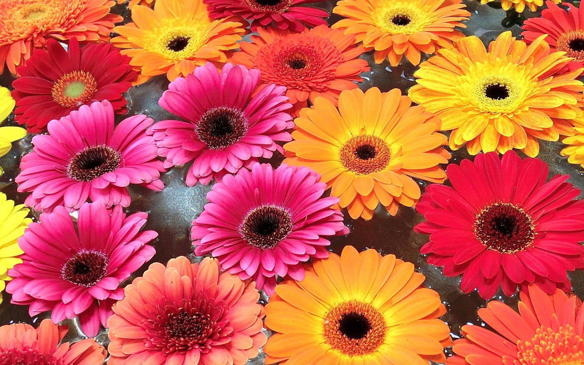 Гербера цветок фото цена