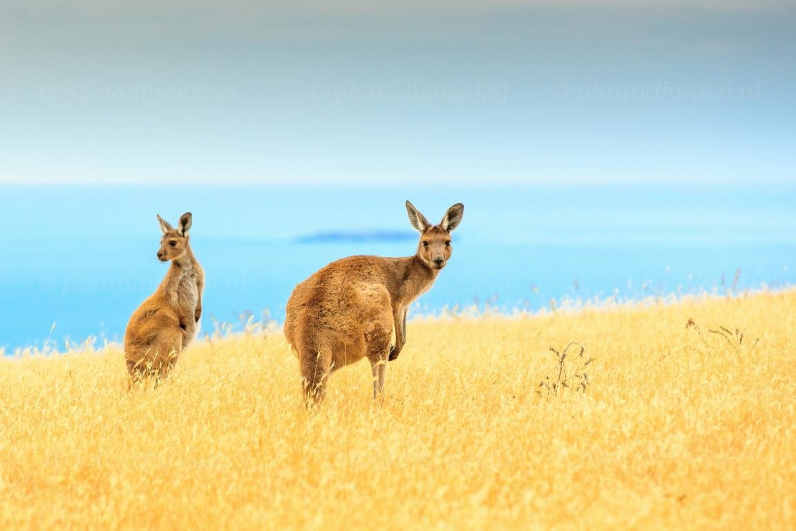 Free download Kangaroo background ID:122501 hd 1152x768 for computer