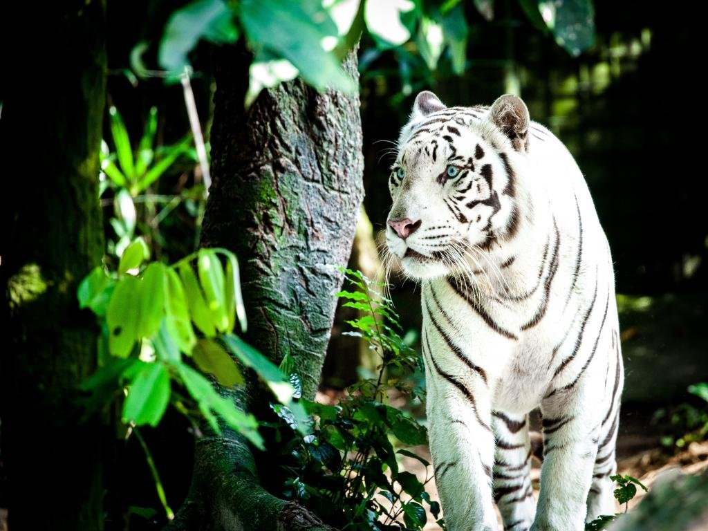 Best White Tiger background ID:174936 for High Resolution hd 1024x768 PC