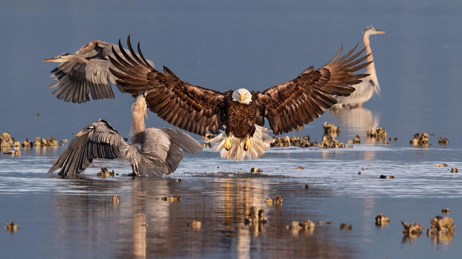 High resolution American Bald Eagle hd 1600x900 wallpaper ID:68663 for desktop
