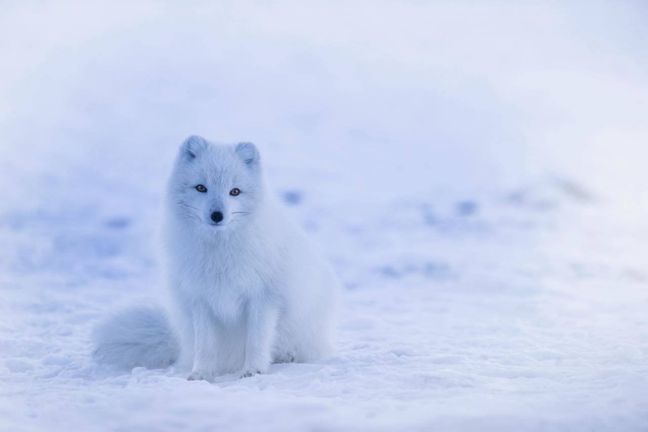 Free Arctic Fox high quality background ID:98764 for hd 1280x854 computer