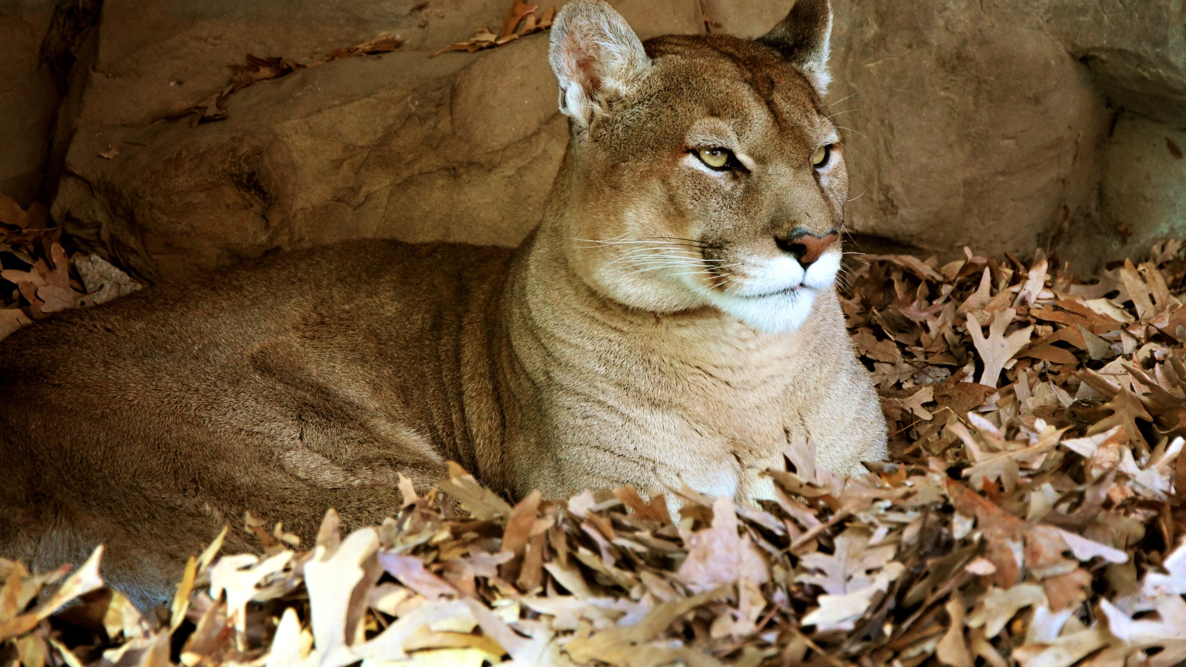 Free Cougar high quality wallpaper ID:81695 for ultra hd 4k desktop