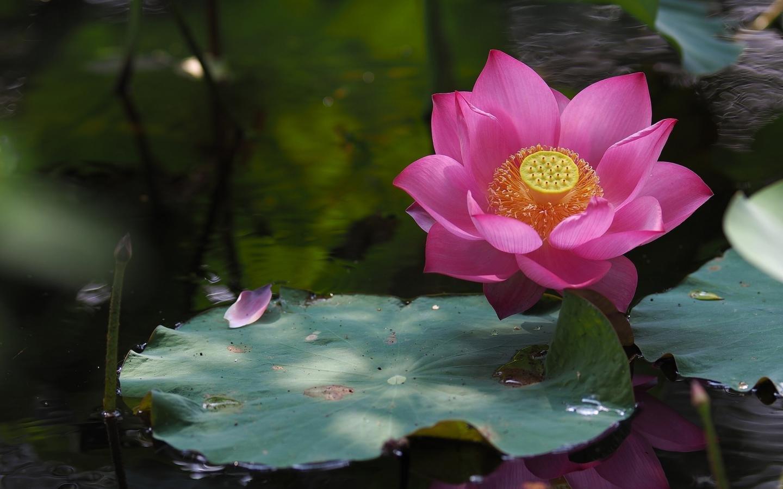 Best Lotus Flower Wallpaper Id48491 For High Resolution Hd 1440x900