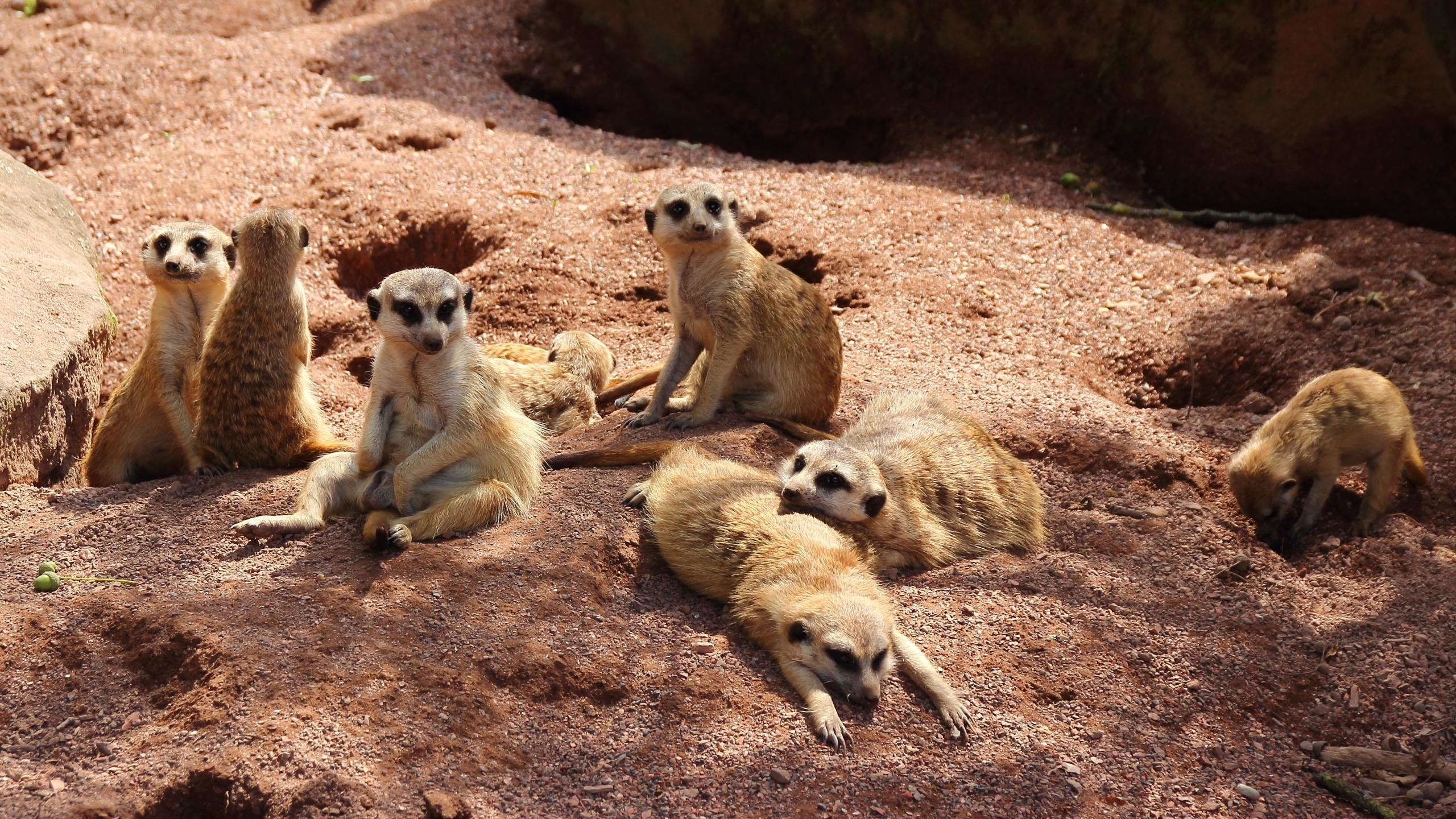 High resolution Meerkat hd 2560x1440 background ID:164576 for desktop
