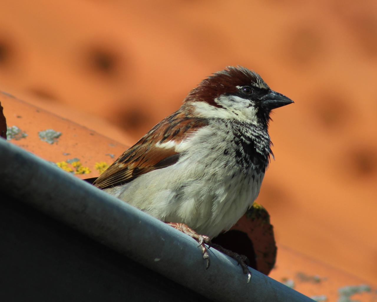 Awesome Sparrow free background ID:110729 for hd 1280x1024 computer