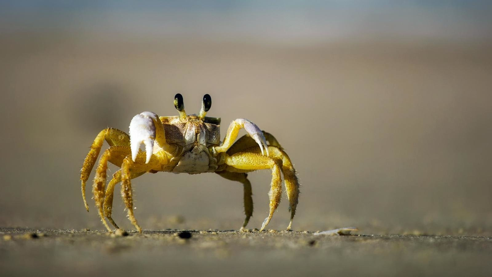 Download hd 1600x900 Crab PC wallpaper ID:294298 for free
