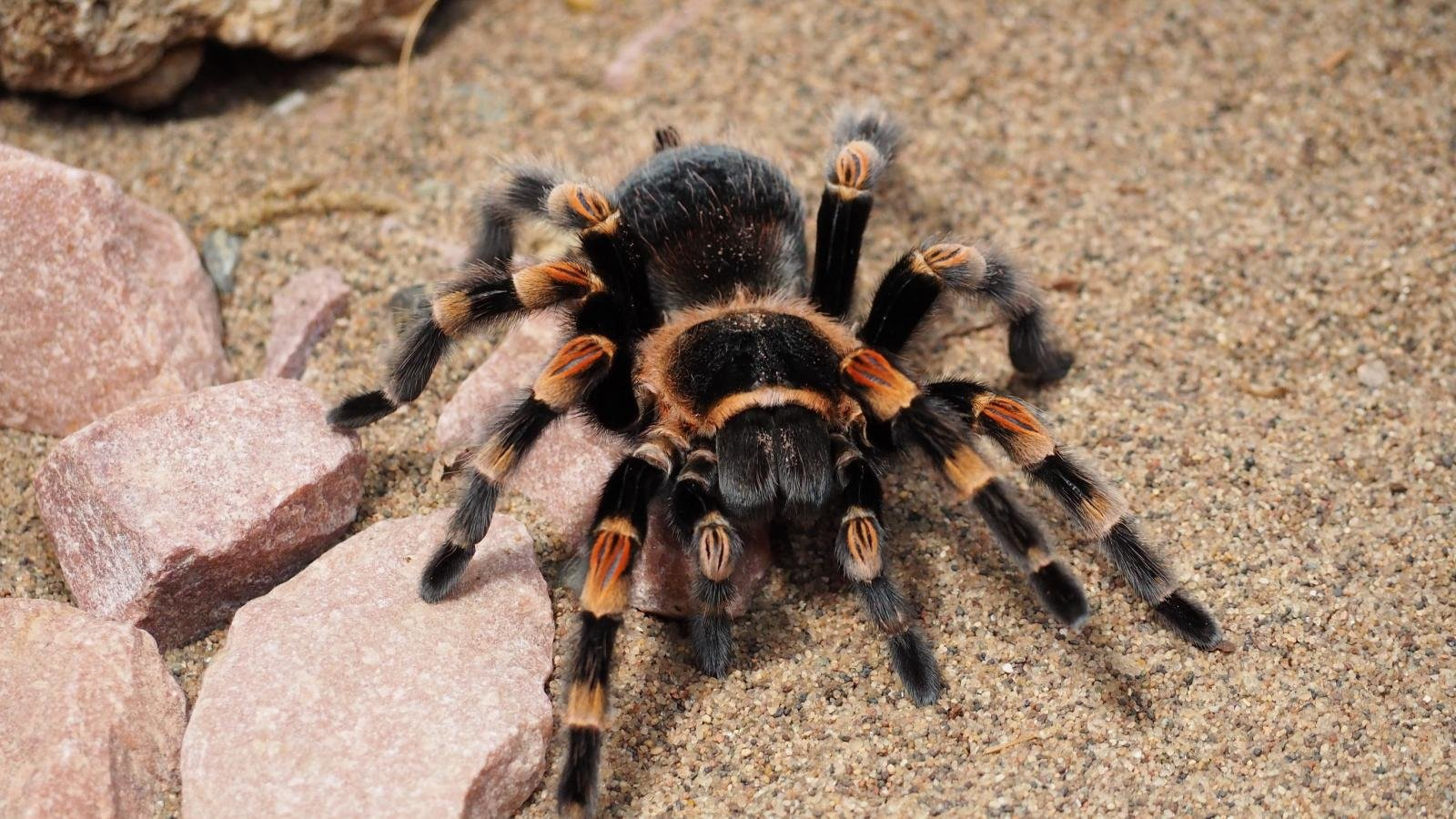 Free Tarantula high quality wallpaper ID:409551 for hd 1600x900 computer