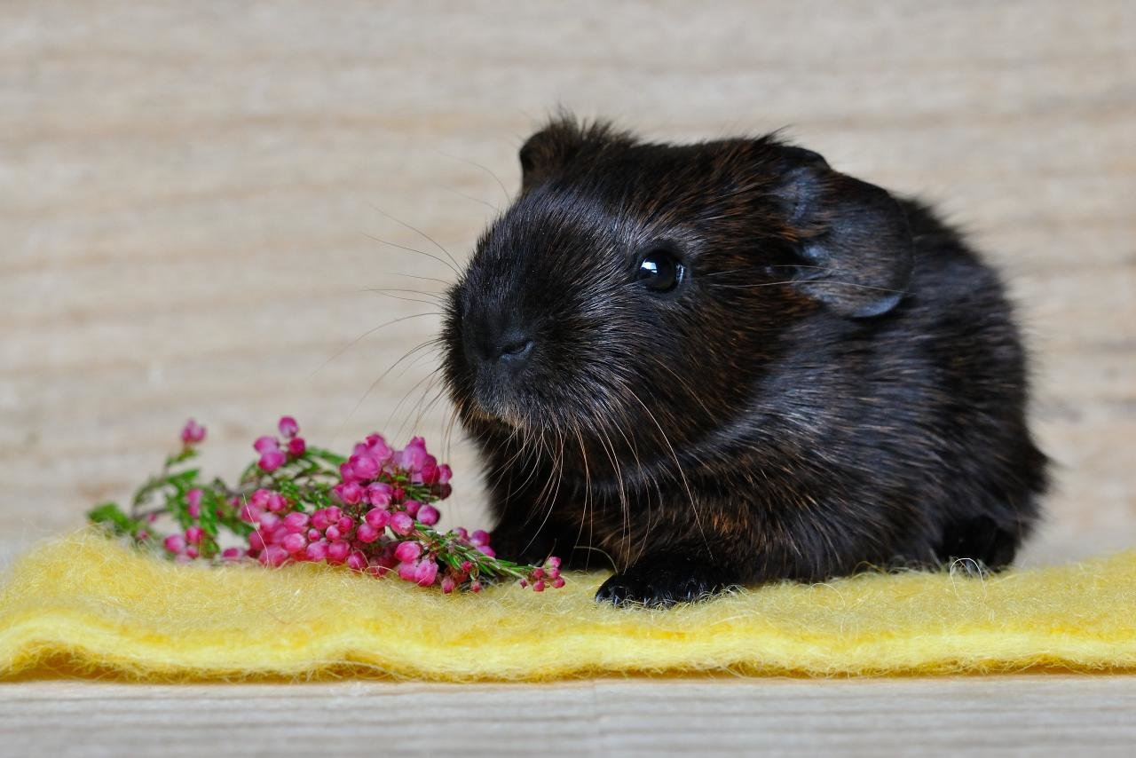 Best Guinea Pig background ID:270988 for High Resolution hd 1280x854 PC