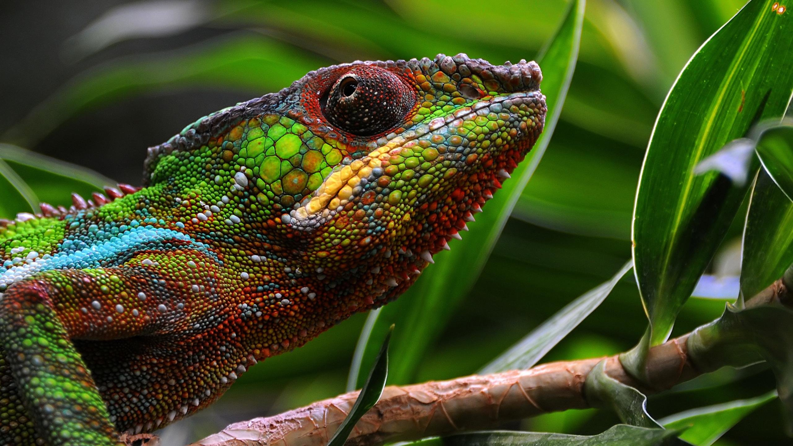 Awesome Chameleon free wallpaper ID:462543 for hd 2560x1440 desktop