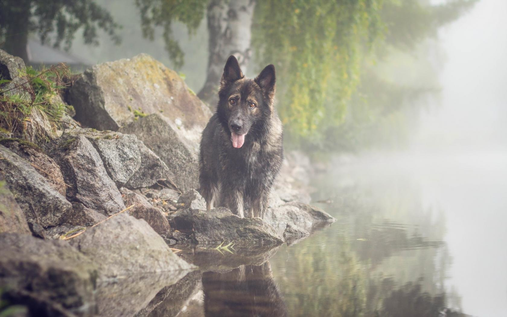Best German Shepherd wallpaper ID:111214 for High Resolution hd 1680x1050 computer