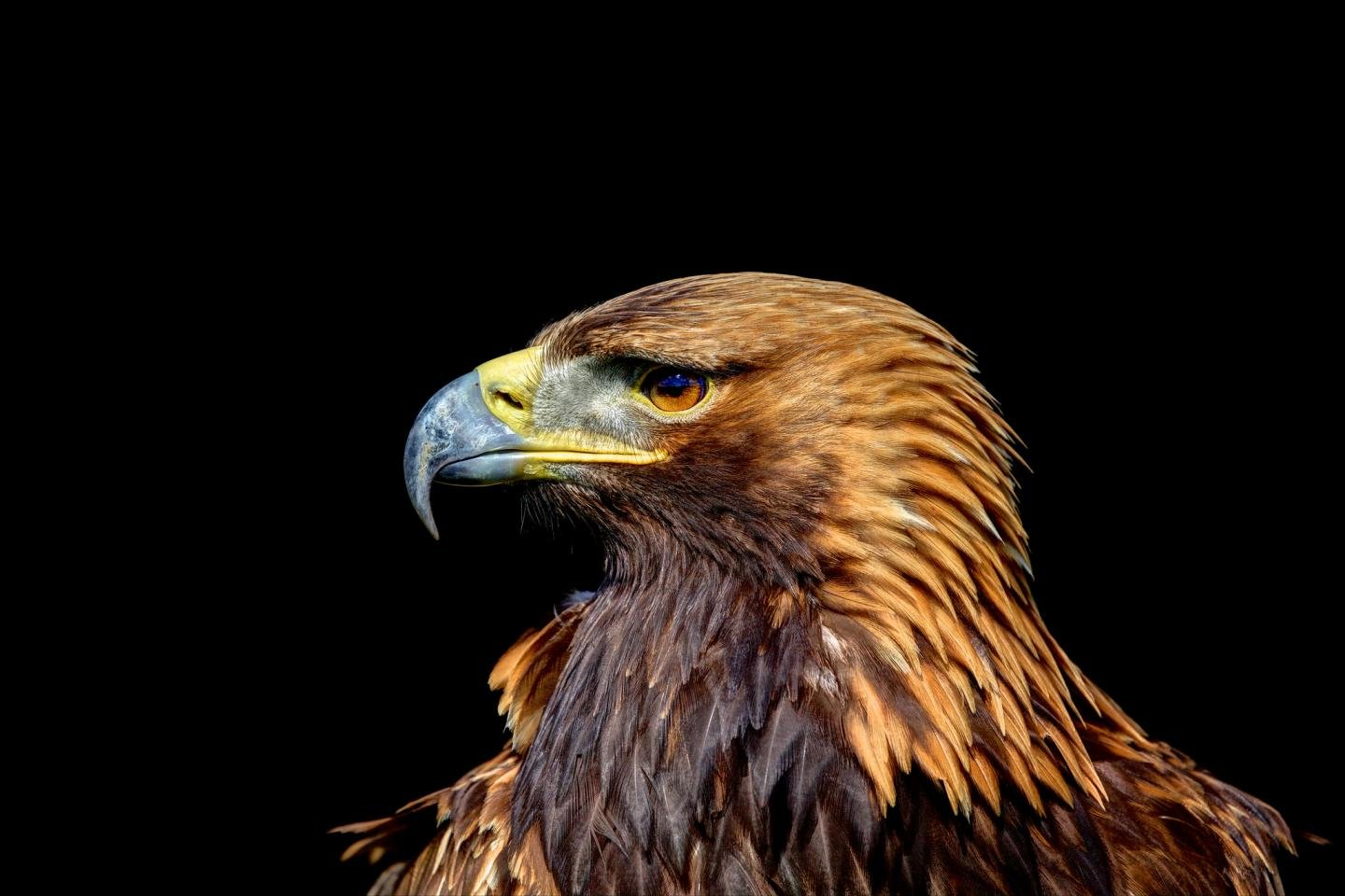 High resolution Golden Eagle hd 1440x960 wallpaper ID:299809 for PC