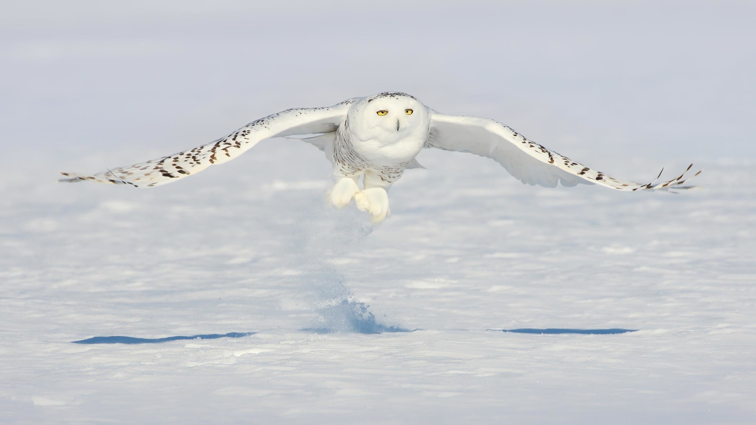 Awesome Snowy Owl free wallpaper ID:26777 for hd 2560x1440 desktop