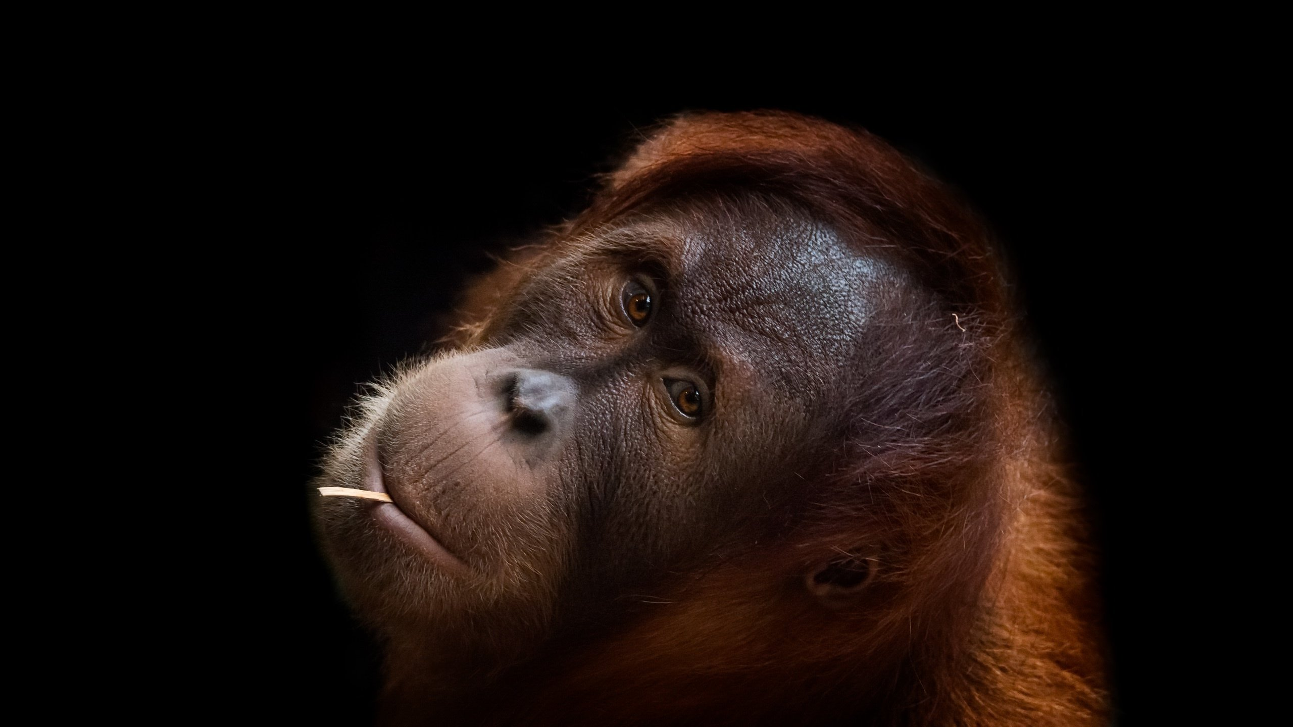 High resolution Orangutan hd 2560x1440 wallpaper ID:70029 for computer