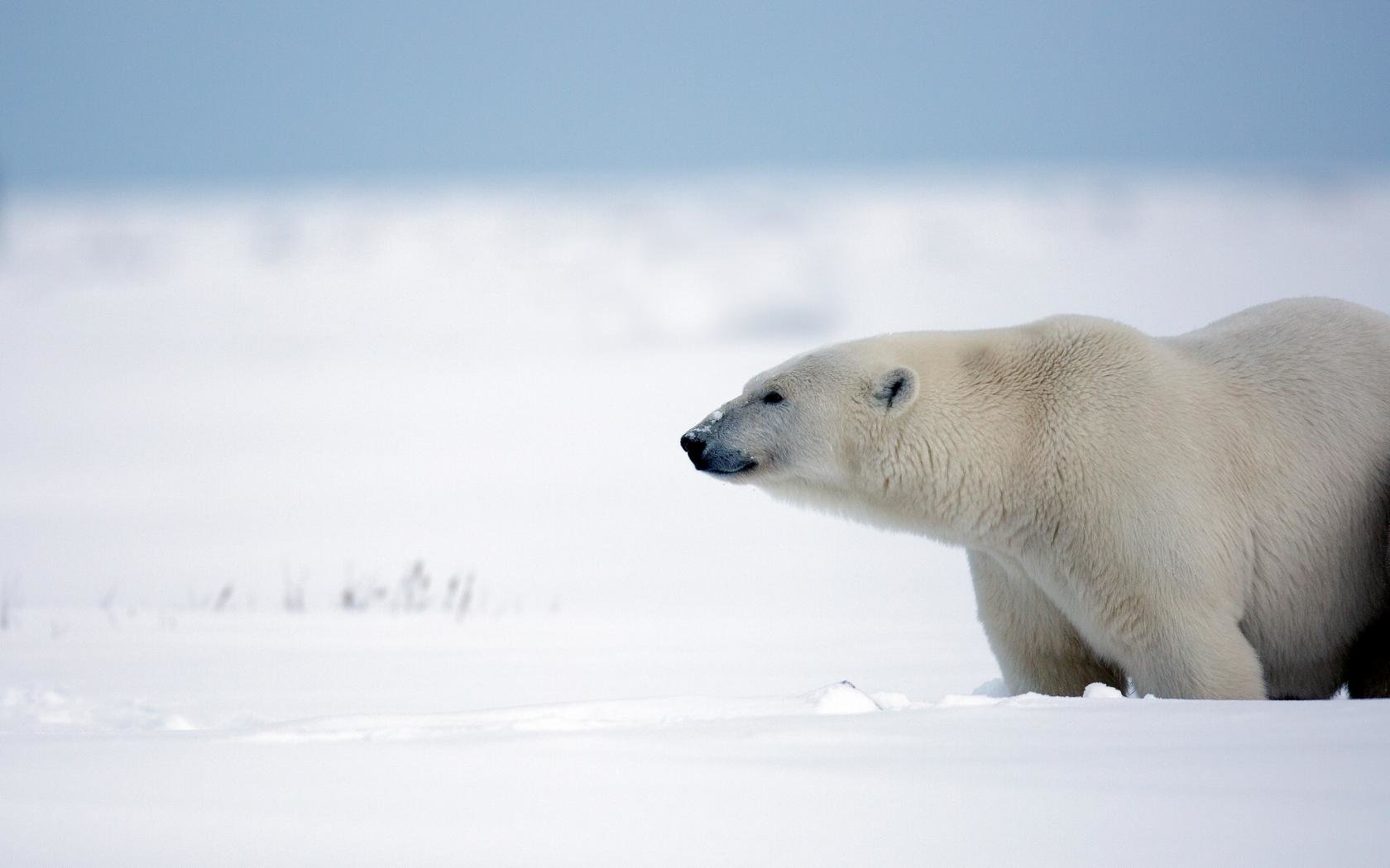 Free Polar Bear high quality wallpaper ID:359781 for hd 1680x1050 desktop