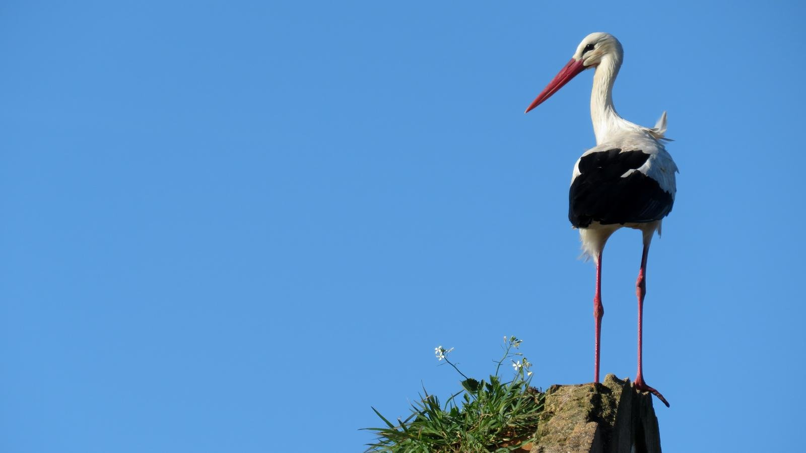 Download hd 1600x900 White Stork computer wallpaper ID:9629 for free