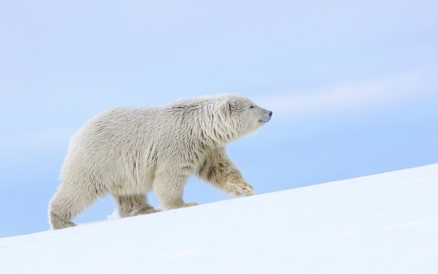 Awesome Polar Bear free background ID:359839 for hd 1680x1050 computer