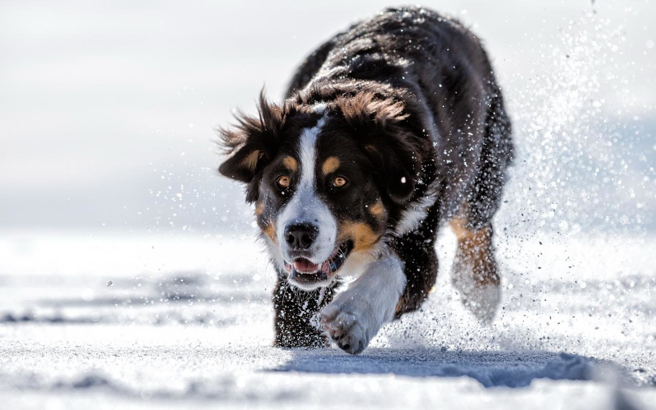 Awesome Sennenhund free wallpaper ID:174735 for hd 1280x800 PC
