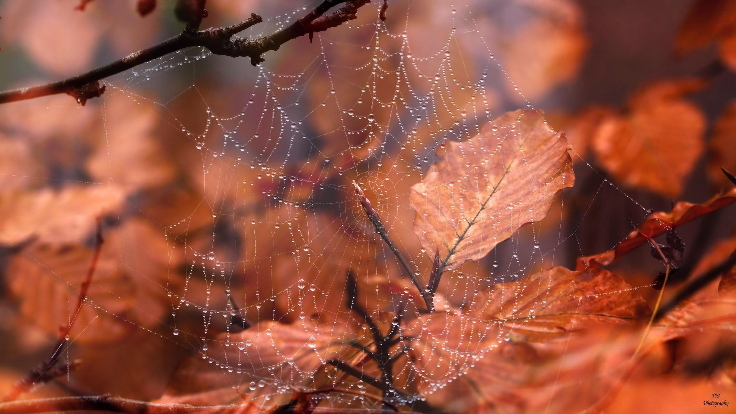 Free download Spider Web wallpaper ID:184751 hd 2560x1440 for PC