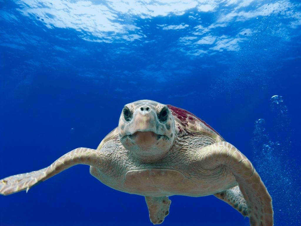 Awesome Turtle free wallpaper ID:29881 for hd 1024x768 PC