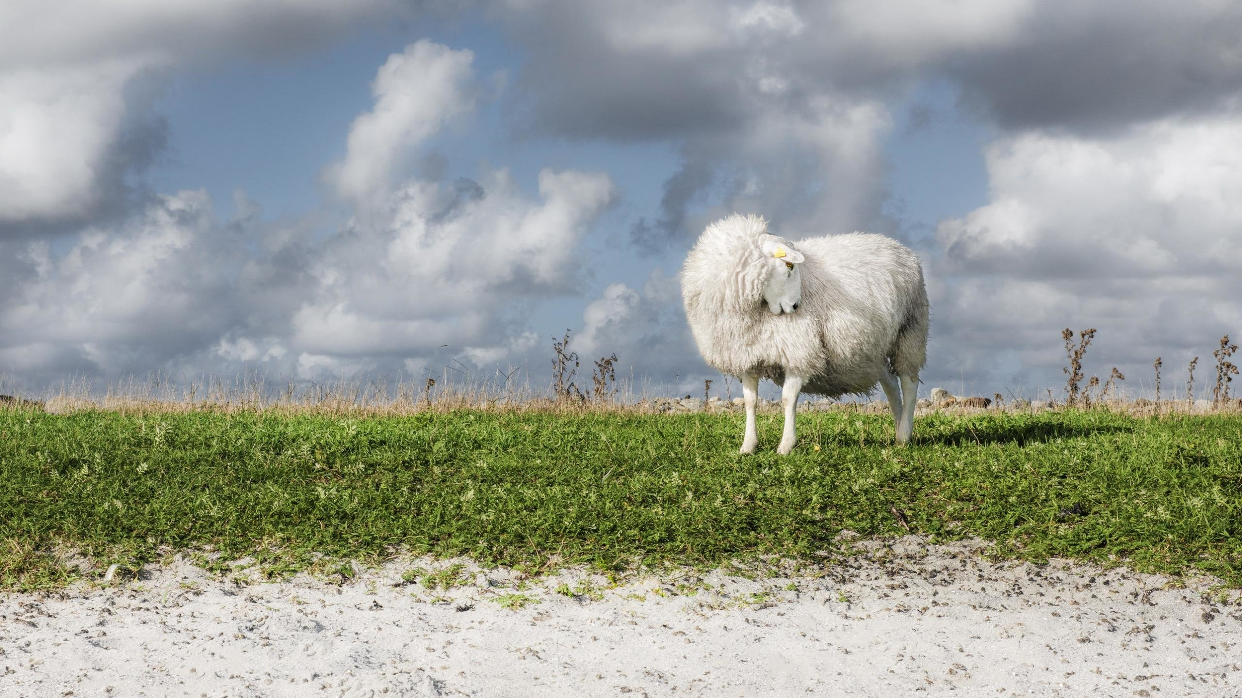 Awesome Sheep free background ID:273650 for hd 2560x1440 PC