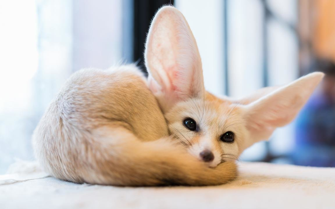 Free download Fennec Fox background ID:137681 hd 1152x720 for desktop