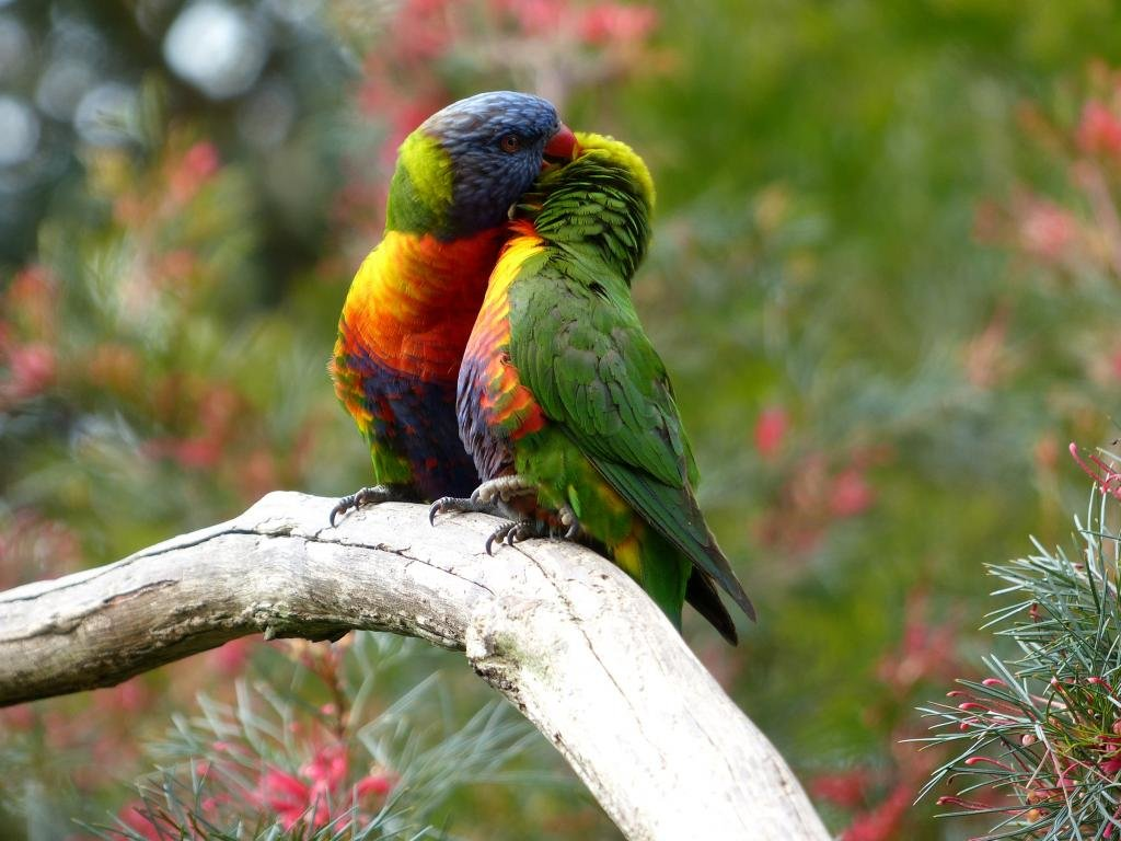 Free download Rainbow Lorikeet background ID:10168 hd 1024x768 for PC