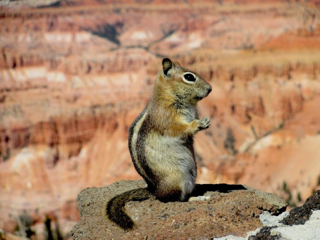 High resolution Squirrel hd 1024x768 background ID:311798 for PC
