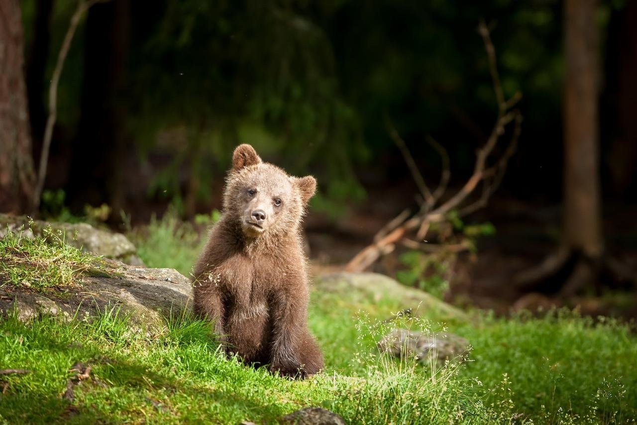 Awesome Baby Animal (cub) free wallpaper ID:352622 for hd 1280x854 computer
