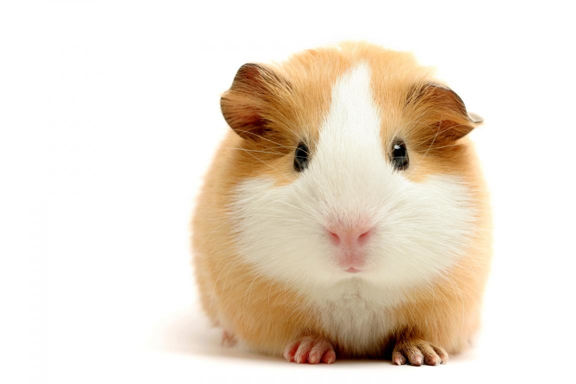 High resolution Guinea Pig hd 1152x768 background ID:270942 for desktop