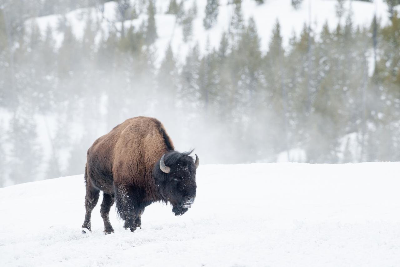 Download hd 1280x854 Bison PC background ID:130651 for free
