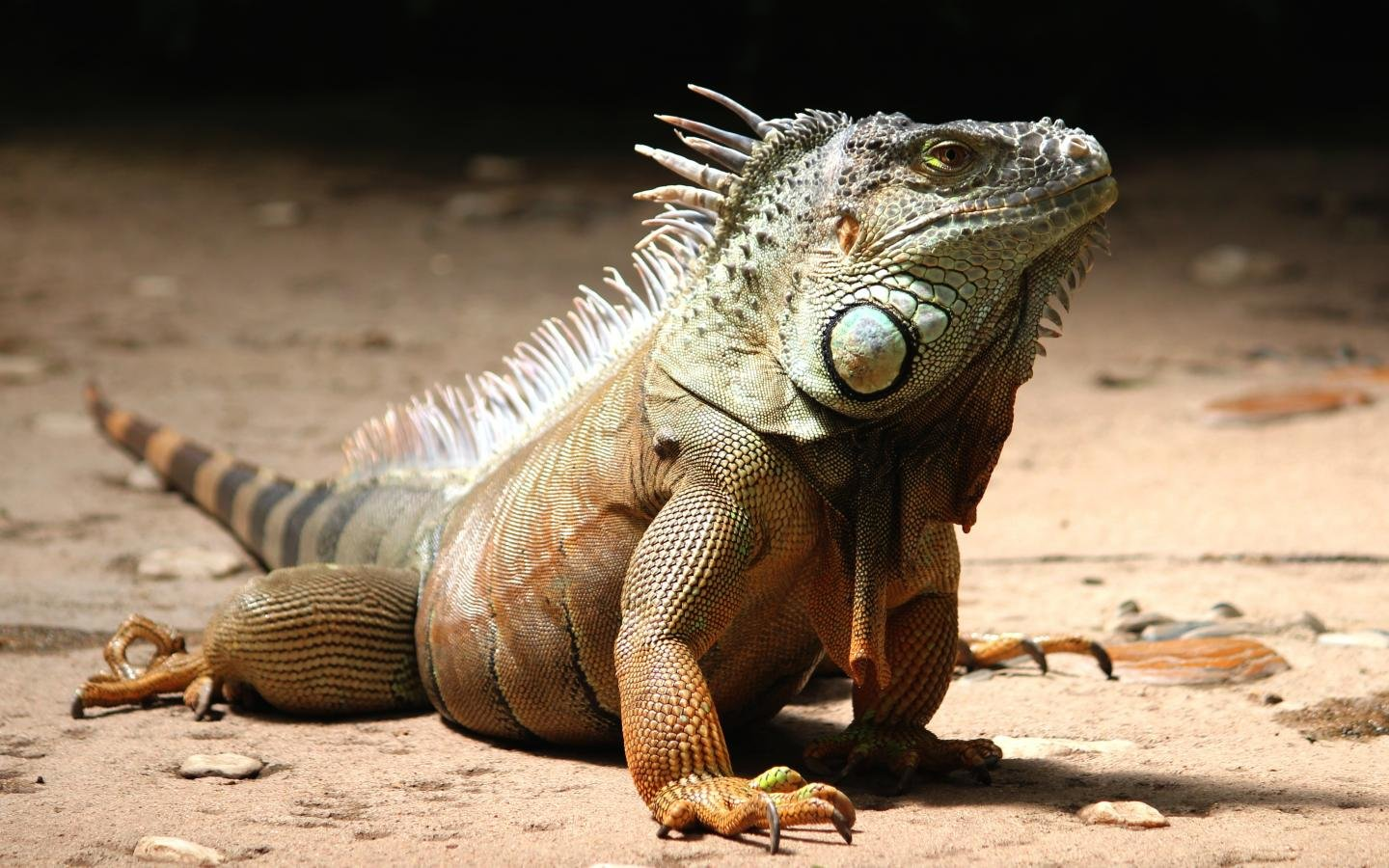 Free Iguana high quality background ID:380889 for hd 1440x900 PC