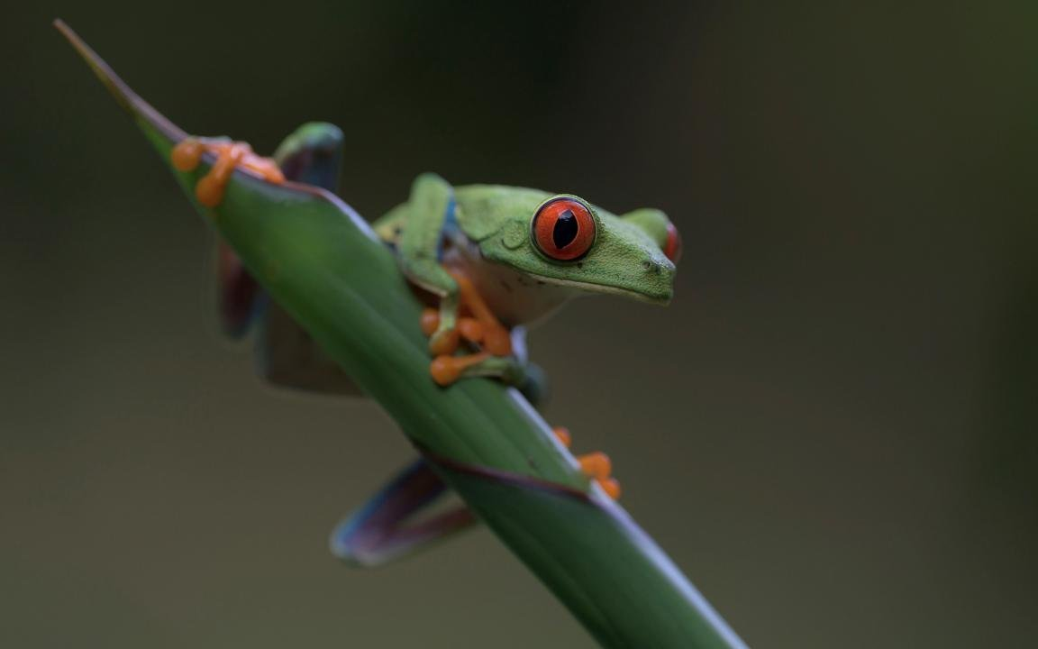 Download hd 1152x720 Red Eyed Tree Frog PC wallpaper ID:20220 for free