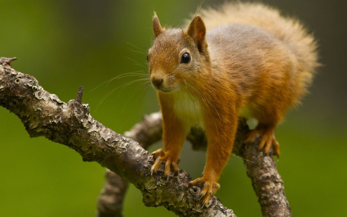 Download hd 1440x900 Squirrel PC wallpaper ID:311795 for free