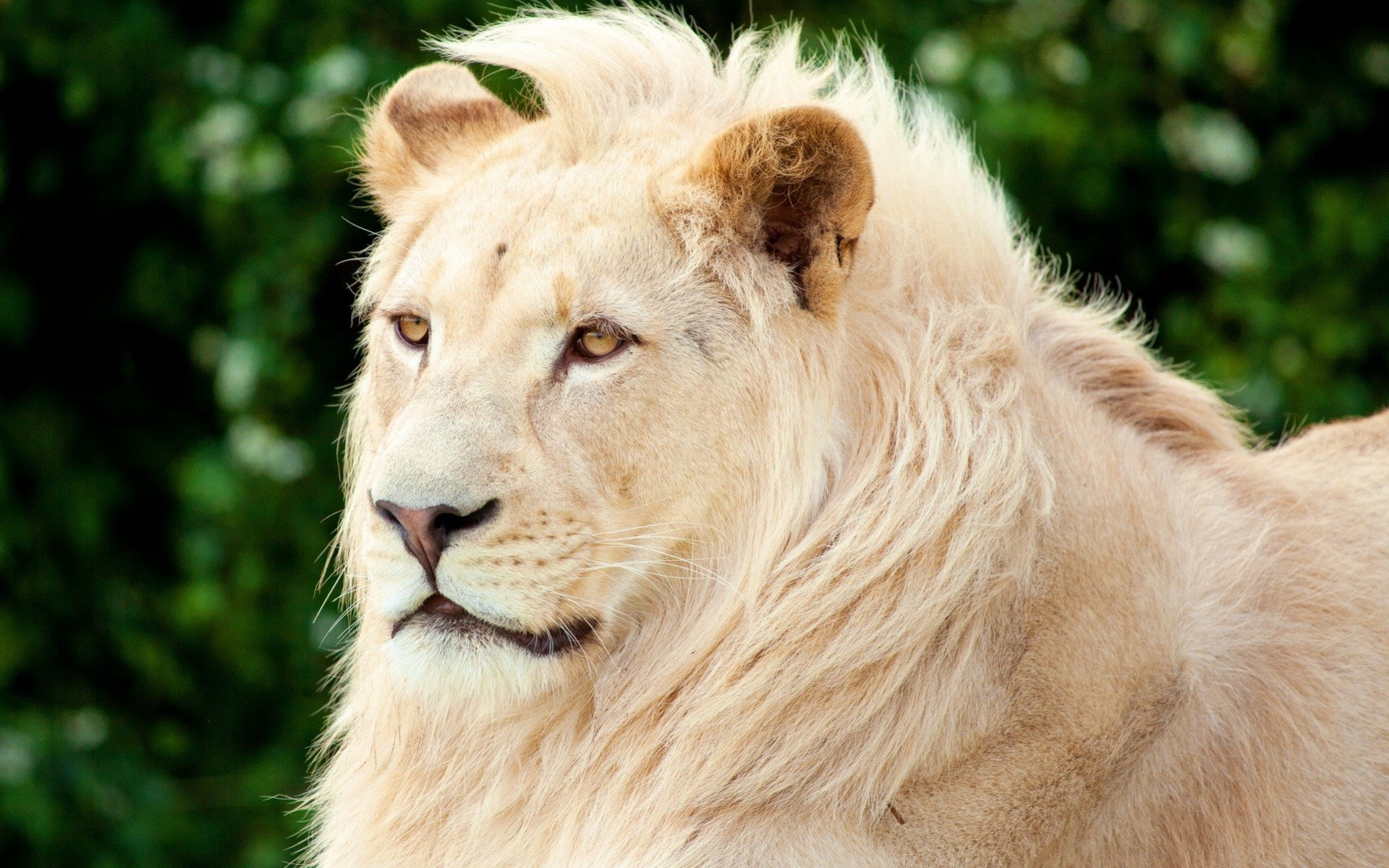 Free download White Lion wallpaper ID:237726 hd 1920x1200 for PC