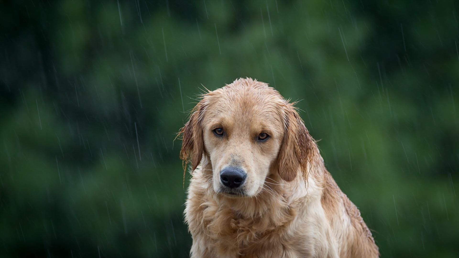 Golden Retriever Wallpapers 1920x1080 Full Hd 1080p Desktop