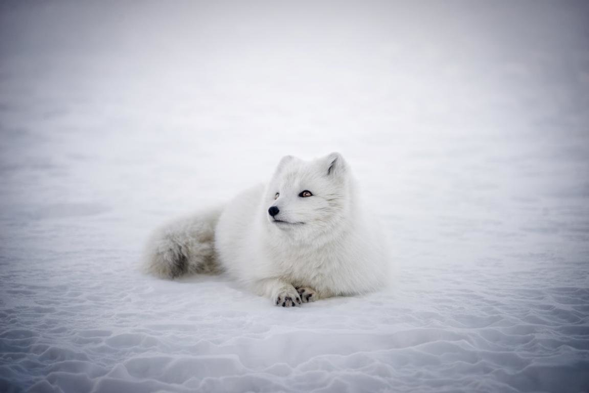 Best Arctic Fox background ID:98753 for High Resolution hd 1152x768 desktop