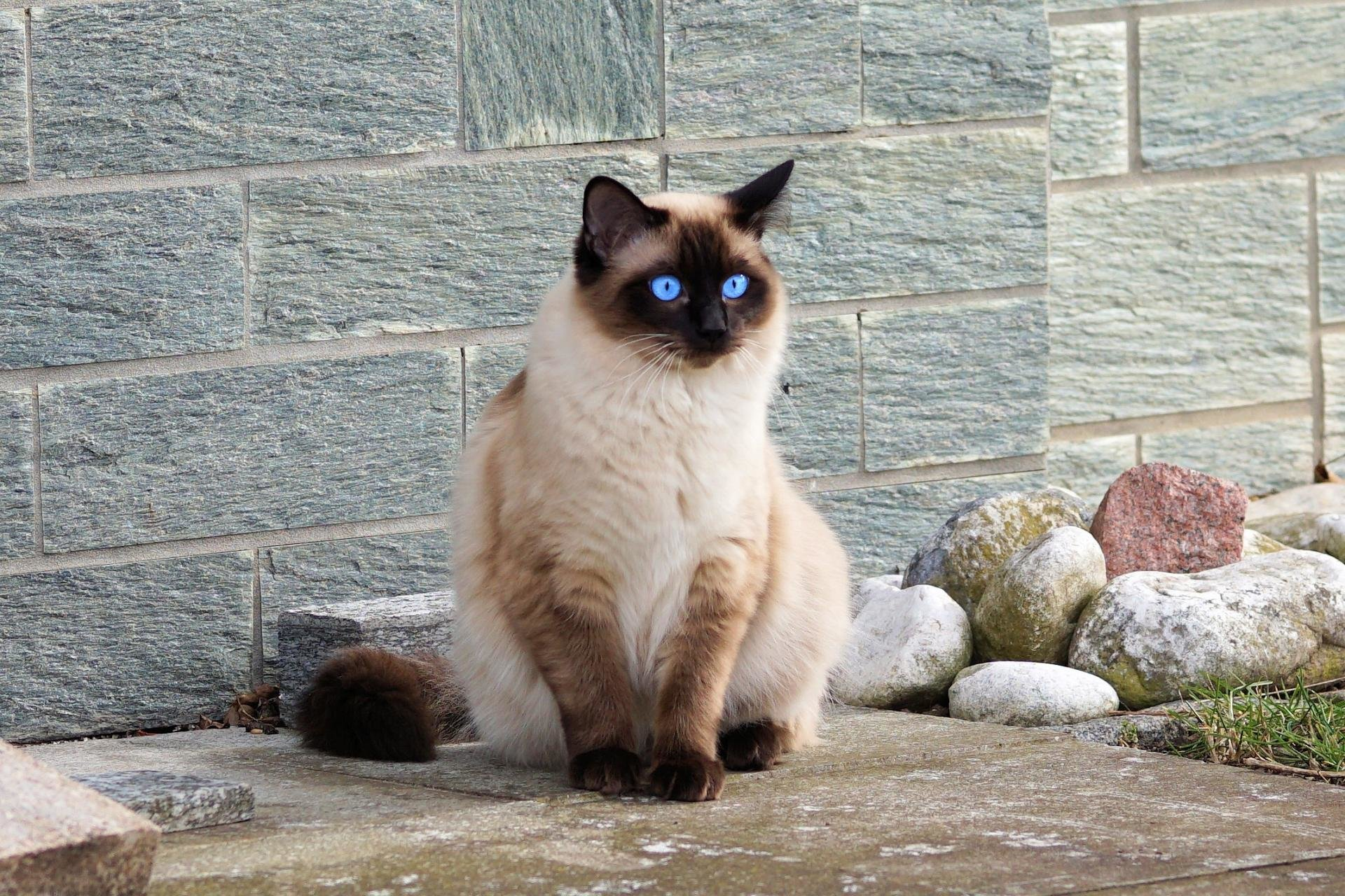 Download hd 1920x1280 Siamese Cat desktop wallpaper ID:53383 for free