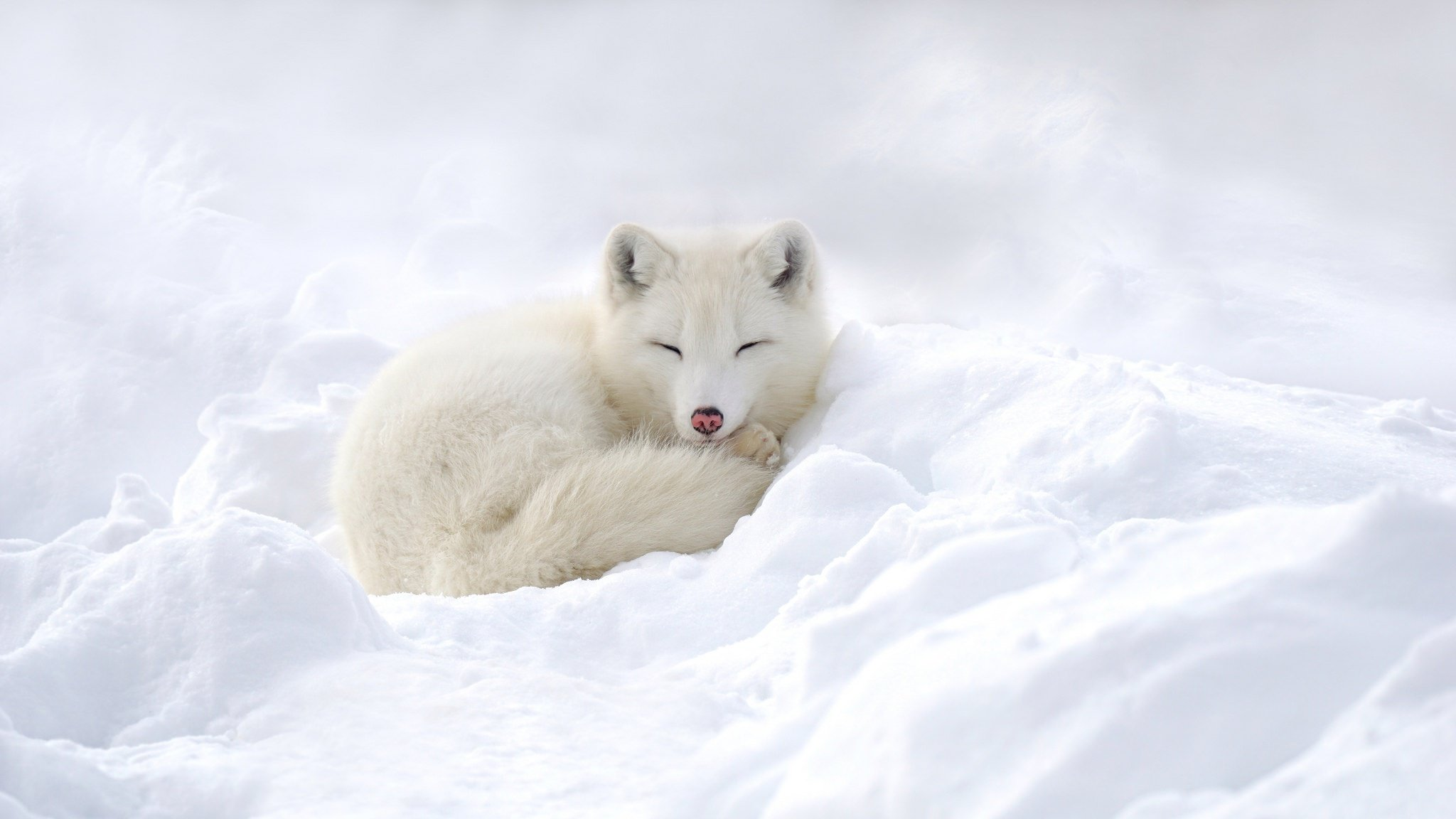 High resolution Arctic Fox hd 2048x1152 background ID:98763 for computer