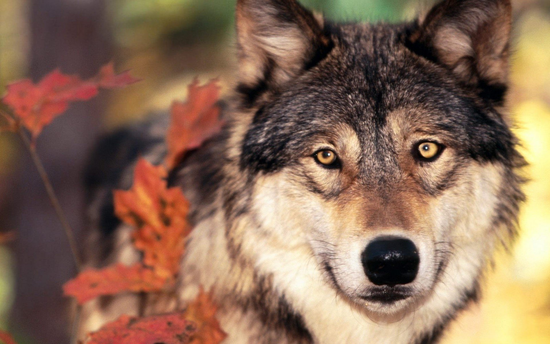 High resolution Wolf hd 1920x1200 wallpaper ID:117585 for desktop