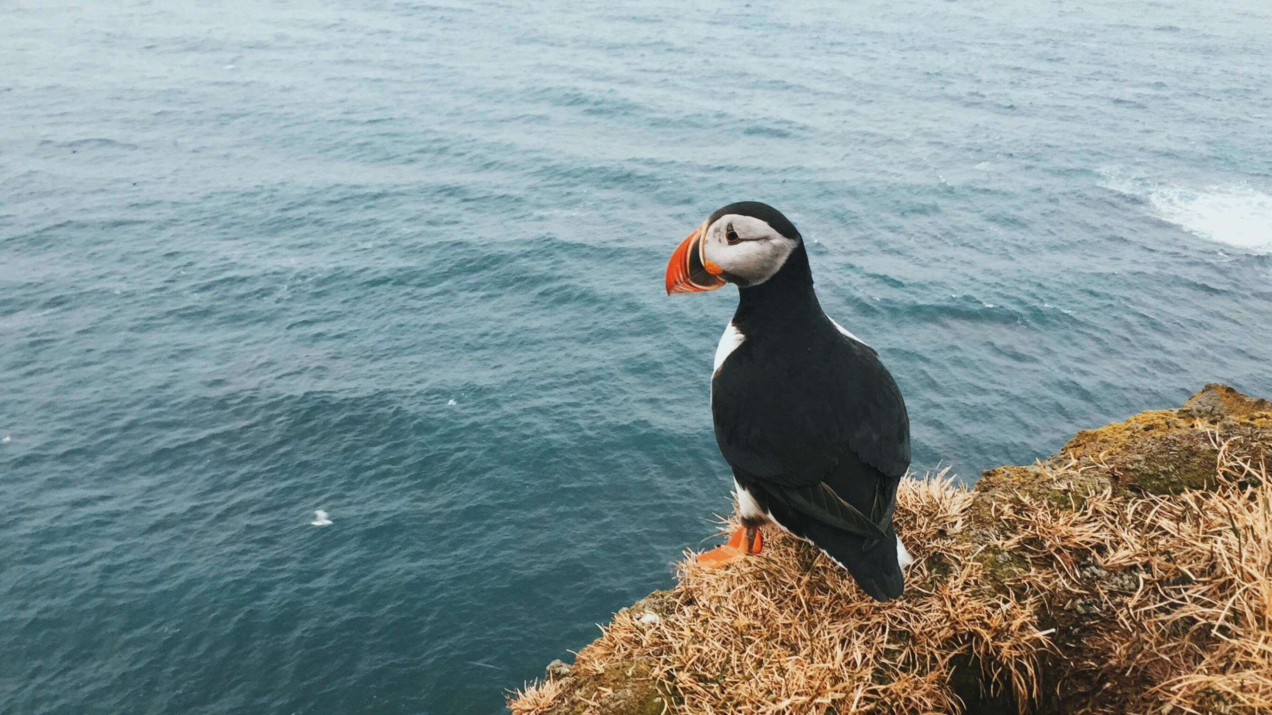 Best Puffin wallpaper ID:193186 for High Resolution hd 2560x1440 computer