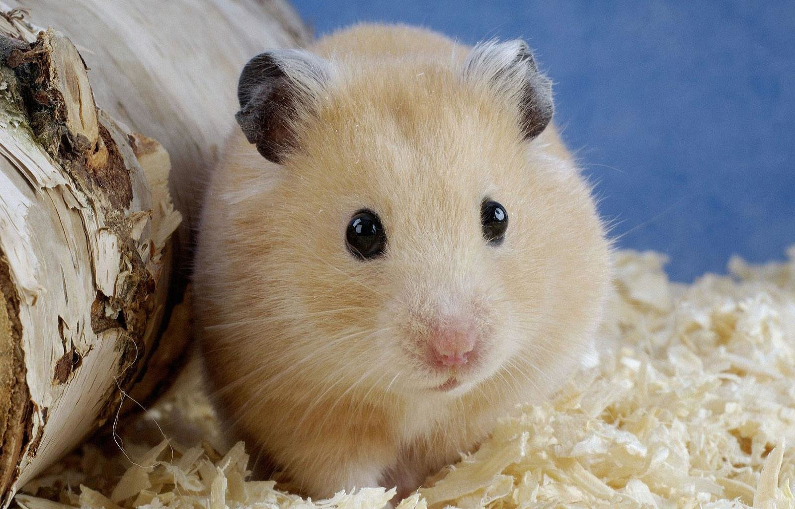 Free download Hamster background ID:234056 hd 1600x1024 for desktop