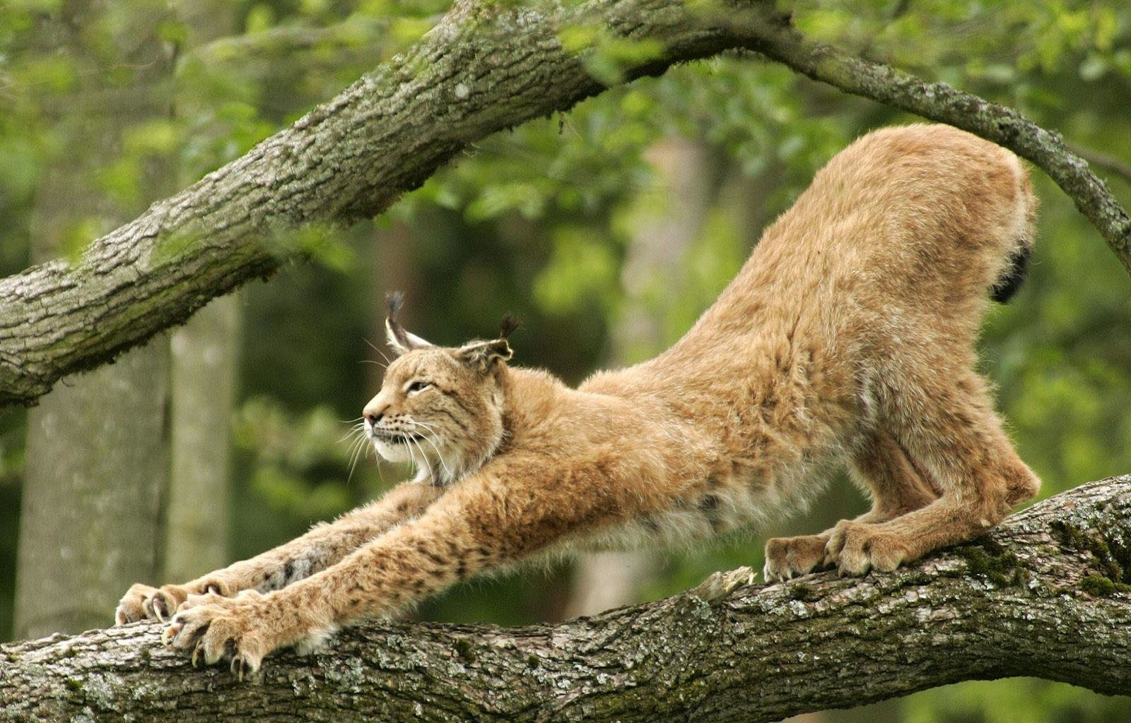 High resolution Lynx hd 1600x1024 wallpaper ID:105865 for PC