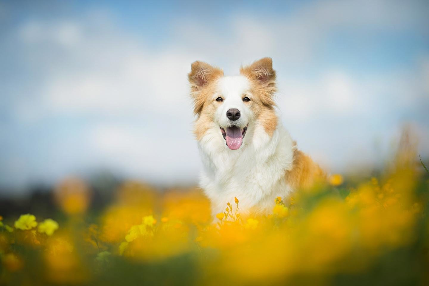 High resolution Border Collie hd 1440x960 wallpaper ID:165890 for PC