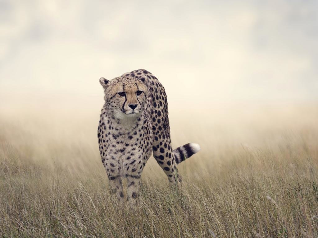 Awesome Cheetah free wallpaper ID:161845 for hd 1024x768 computer