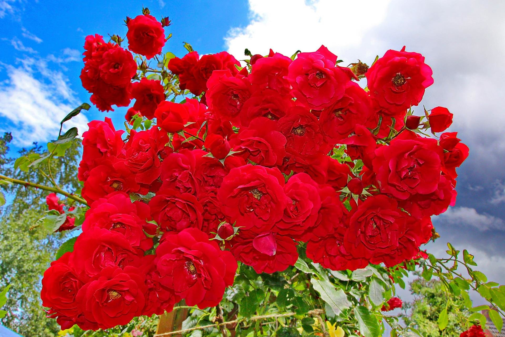 Awesome Rose Bush free background ID:125588 for hd 1920x1280 PC