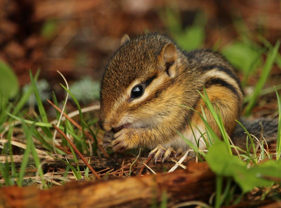 Awesome Chipmunk free background ID:323091 for hd 1120x832 computer