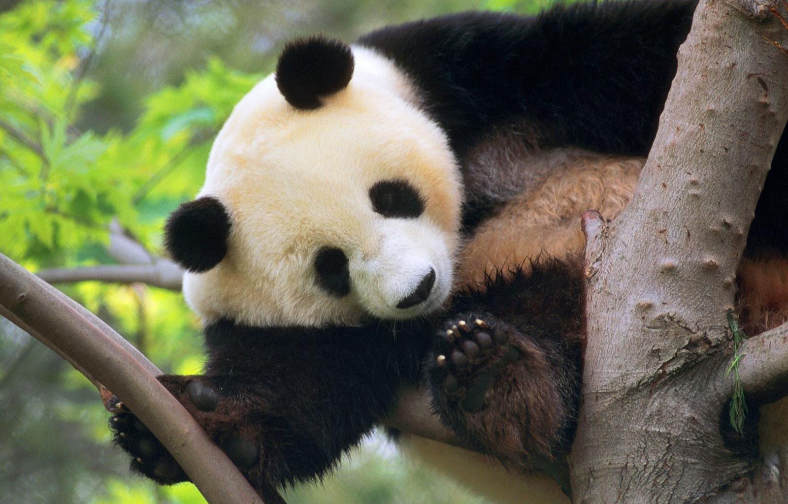 Download Hd 1600x1024 Panda Desktop Wallpaper Id300427 For Free
