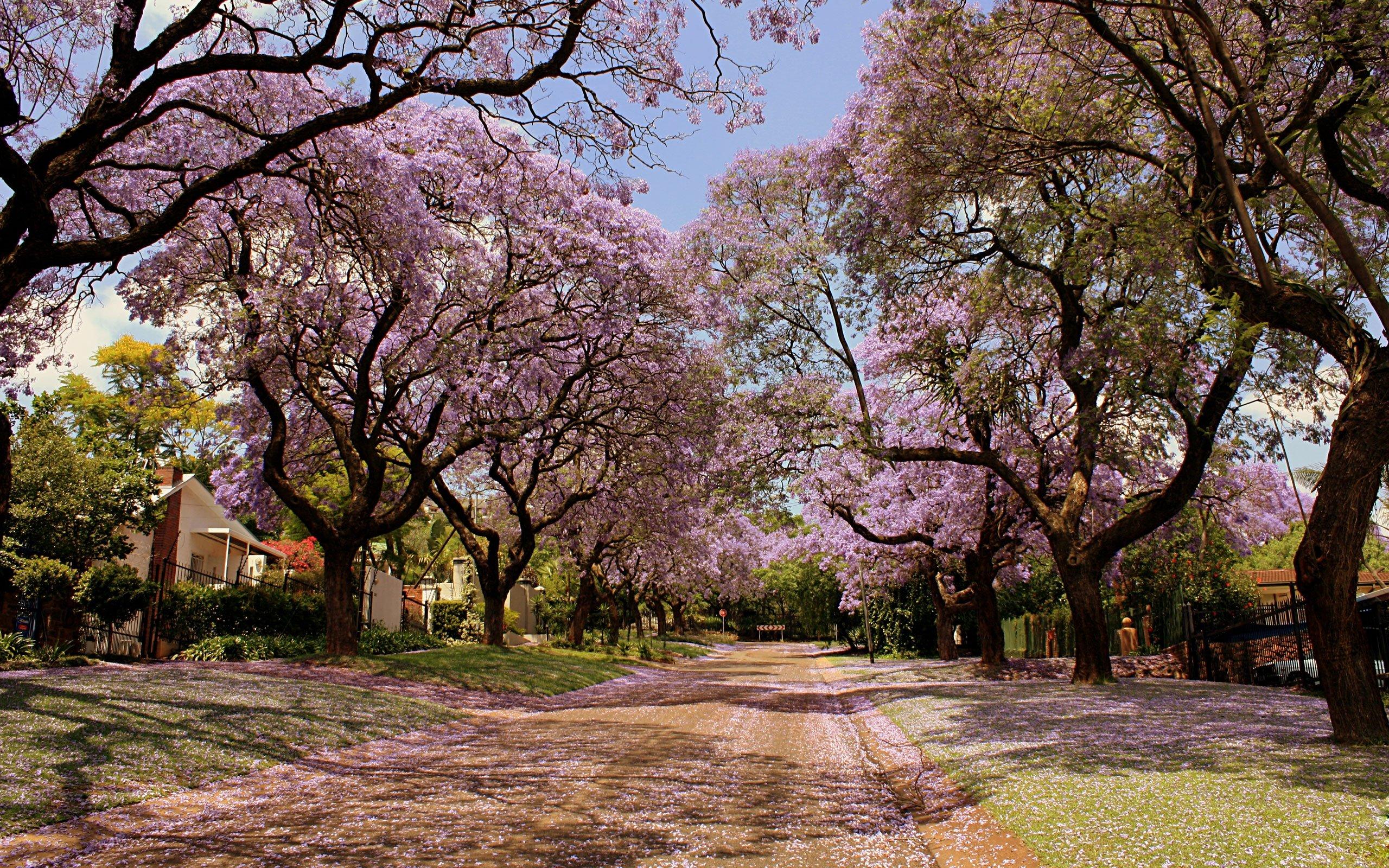 Sakura Tree Cherry Blossom Wallpapers Hd For Desktop Backgrounds